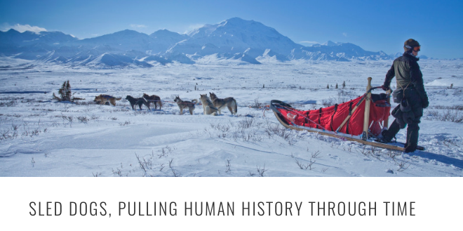 sled dog pulling history HEADER